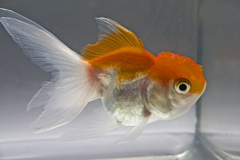 Goldfish images stock