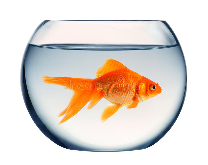 Goldfish photo stock