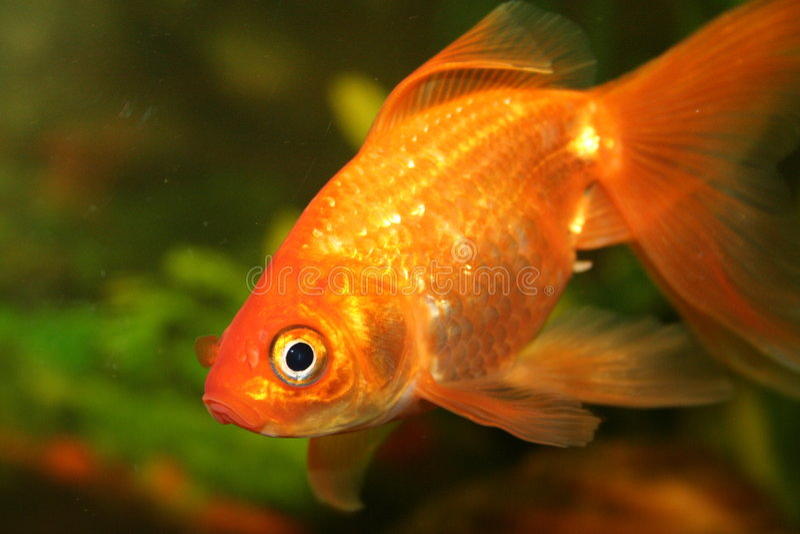 Goldfish immagine stock libera da diritti