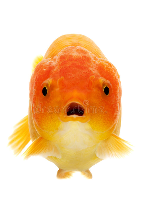Download Goldfish stock photo. Image of domestic, surprise, space - 28945620