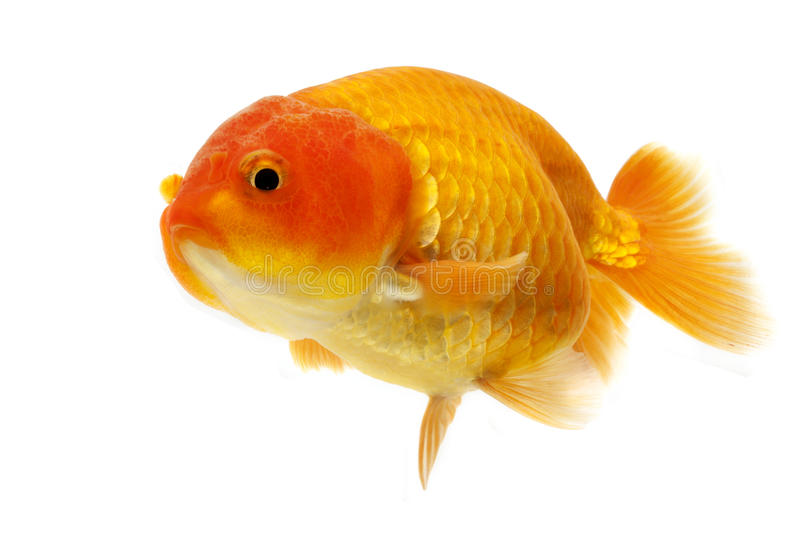 Goldfish. Red Goldfish isolated on white background royalty free stock photography