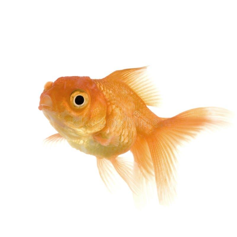 Goldfish lizenzfreie stockbilder