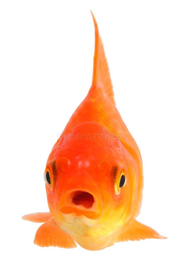 Download Goldfish Royalty Free Stock Photo - Image: 29525045