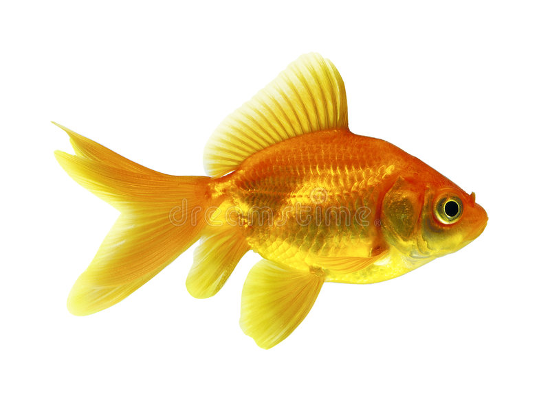 Goldfish. One goldfish isolated on a white background
