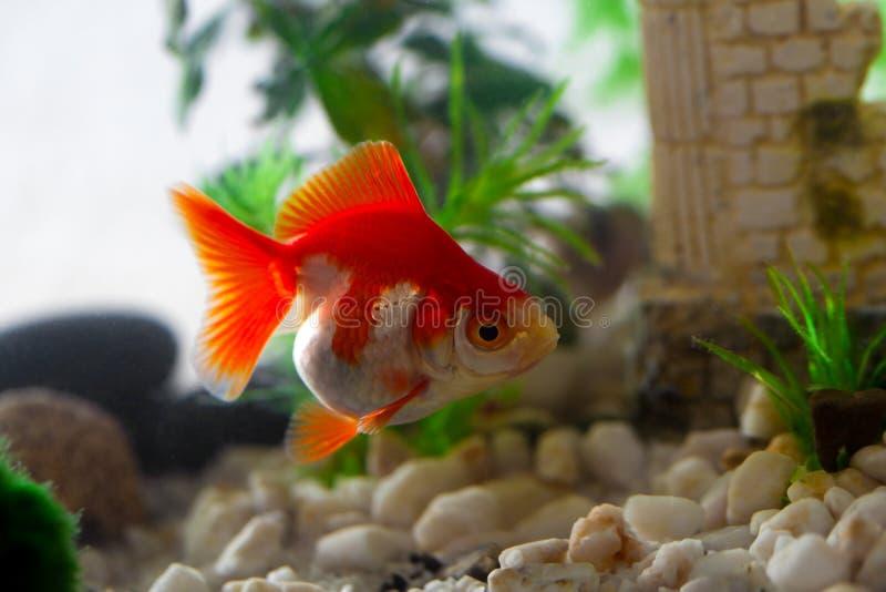 Goldfish. Sucks a rocks in the aquarium stock photos