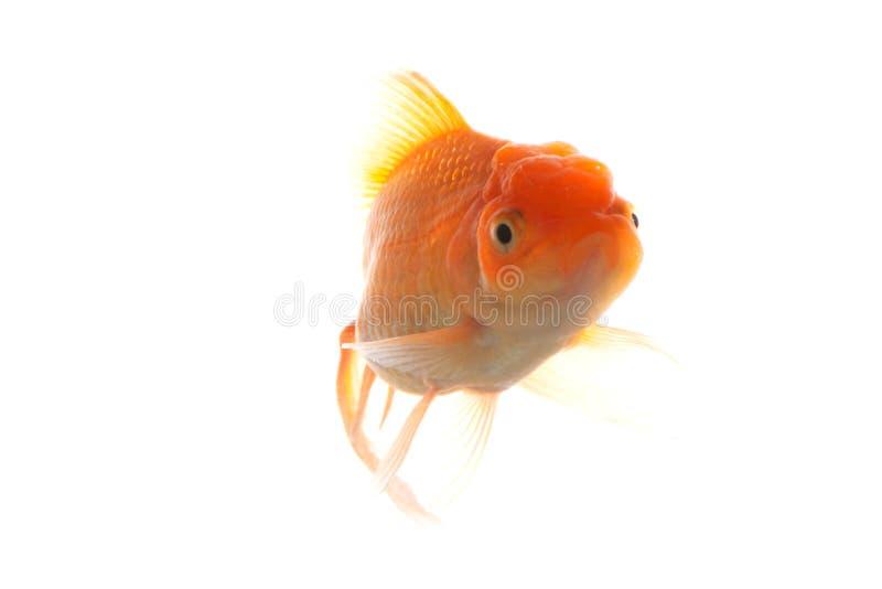 Goldfish Free Stock Photo