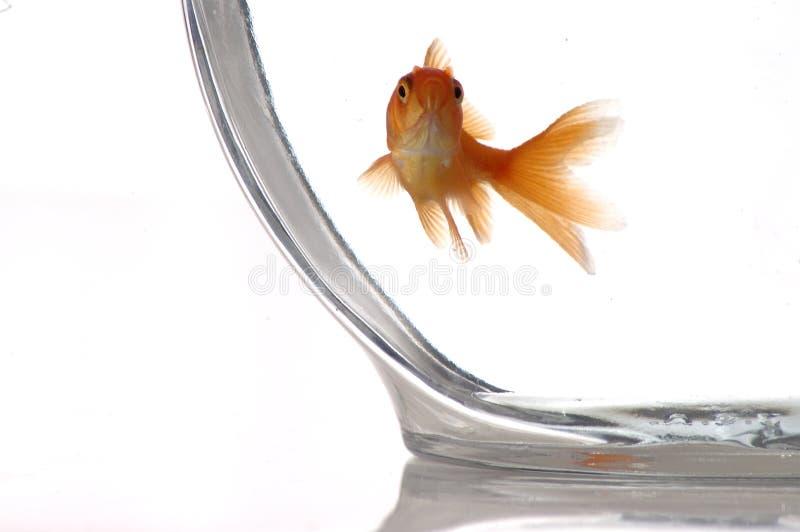 Goldfish 4 stock photo
