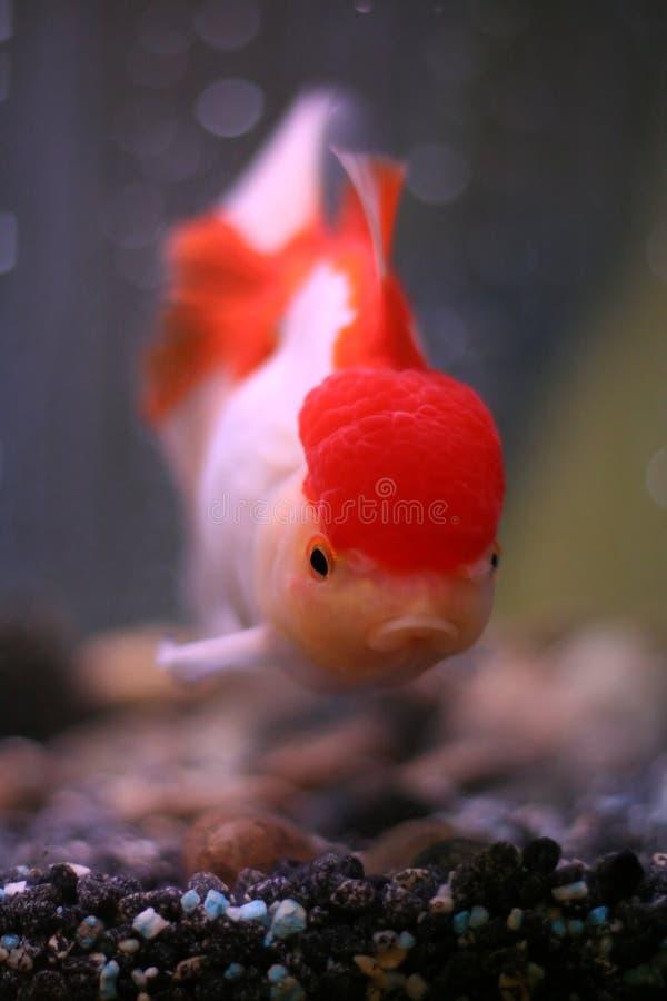Download Goldfish Stock Images - Image: 522694
