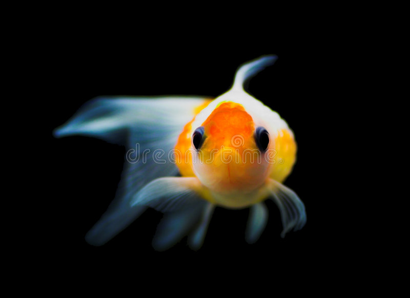 Goldfish. Portrait looking at you