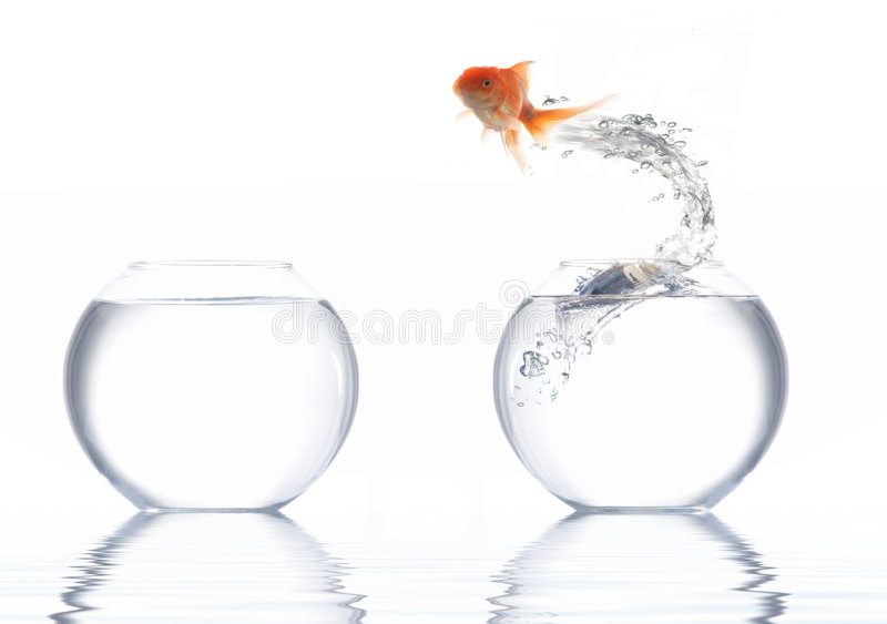 Goldfish. A golden fish leaping out of the water stock photos