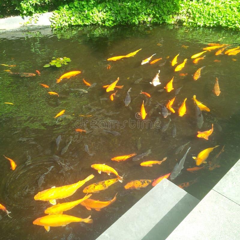 Goldfish stockfoto
