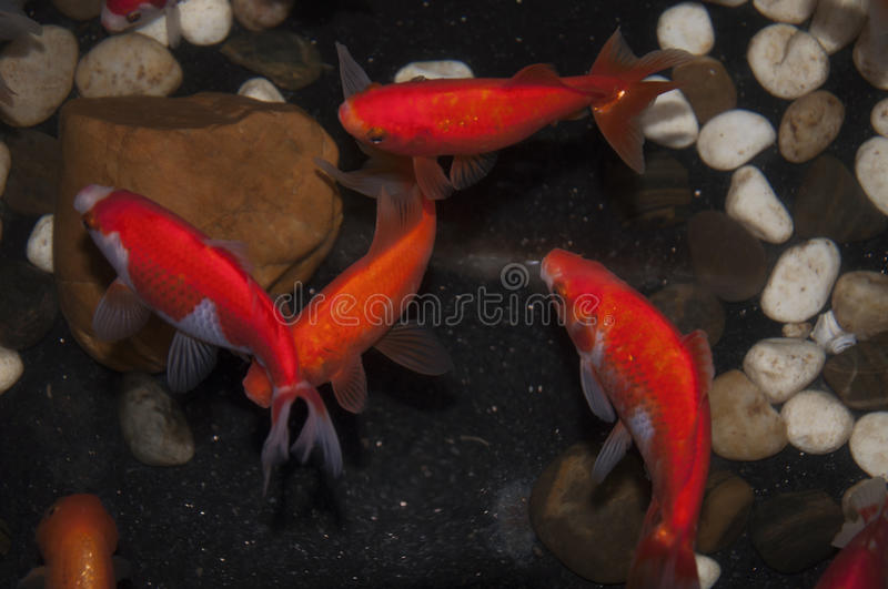 goldfish01 royalty-vrije stock fotografie