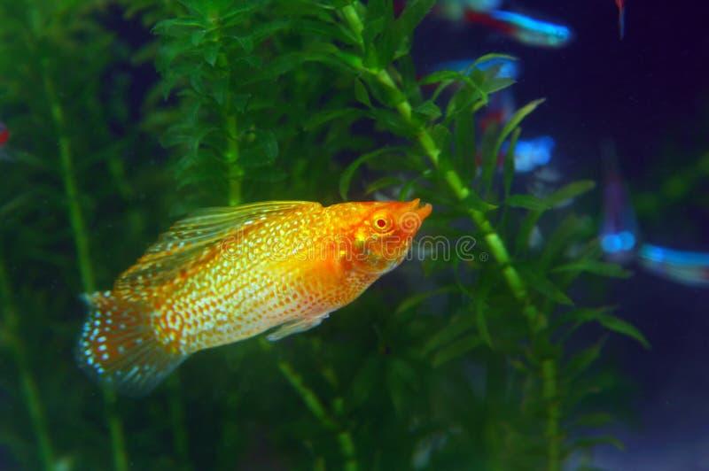 Goldfish stockbilder