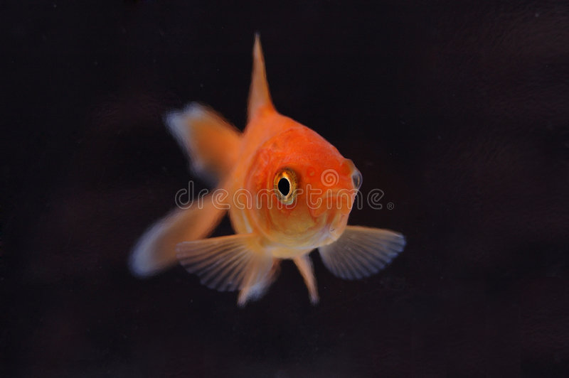 Goldfish 7 fotografia stock libera da diritti