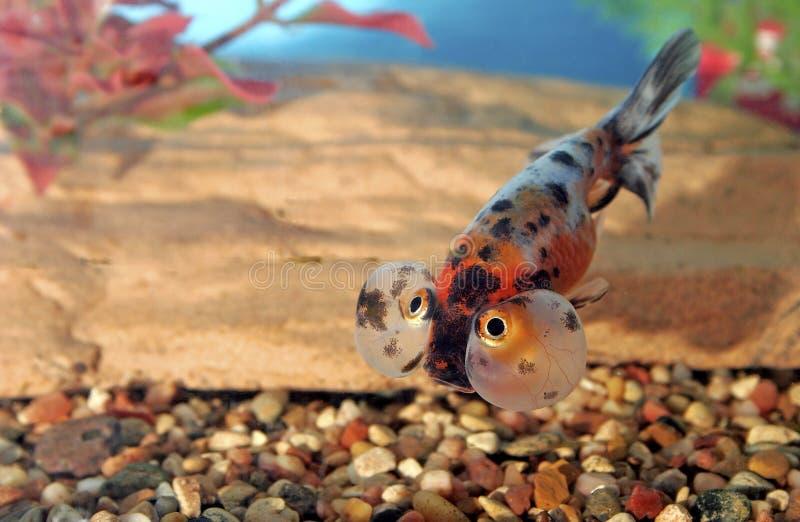 Goldfish 700032 dell'occhio della bolla del calicò fotografie stock