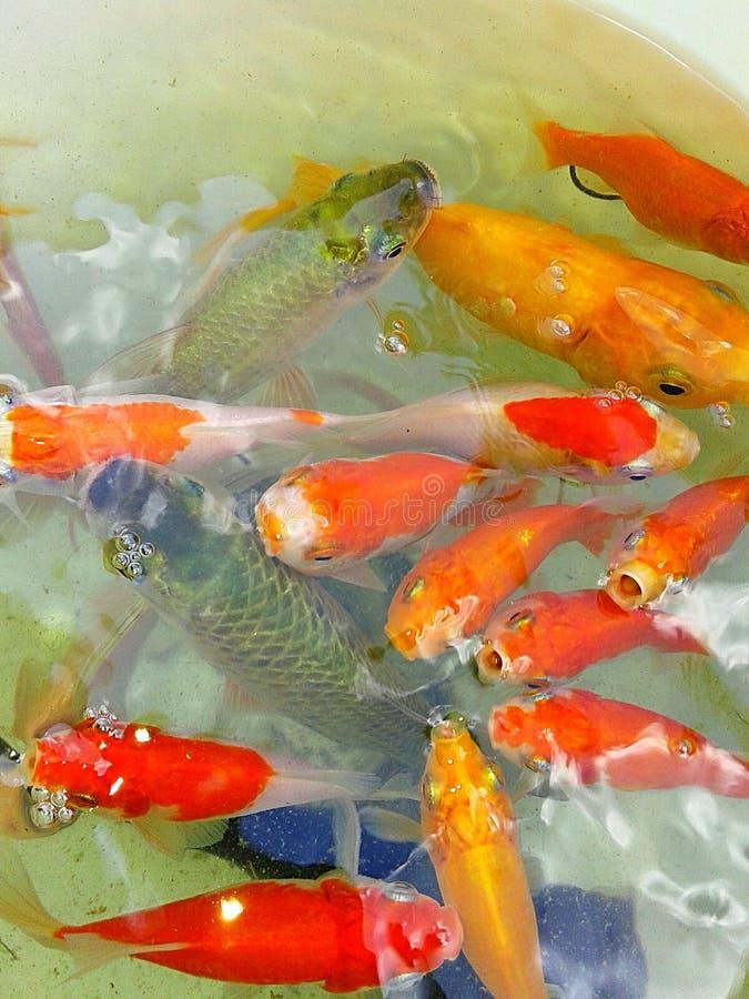 Goldfish fotografie stock