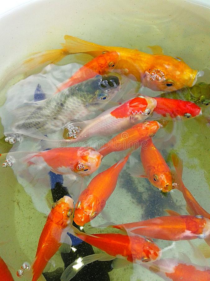 Goldfish images libres de droits