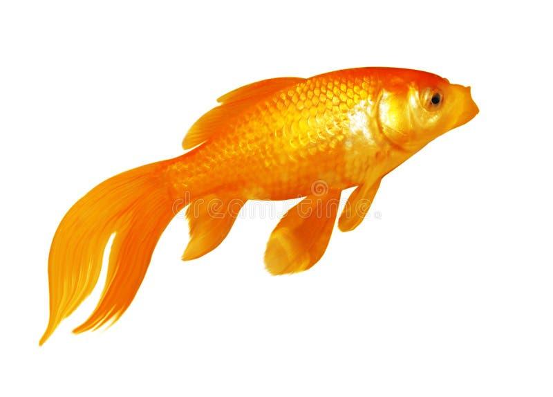 Goldfish Στοκ φωτογραφίες με δικαίωμα ελεύθερης χρήσης