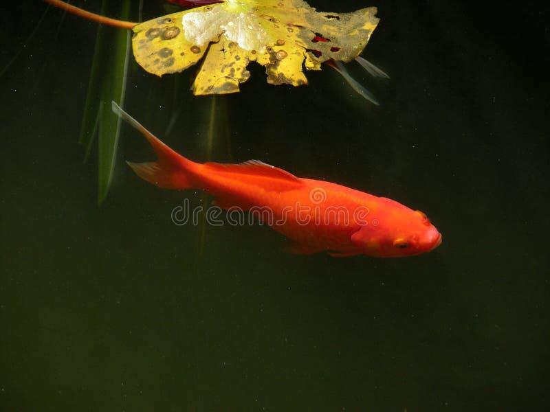 Goldfish image stock
