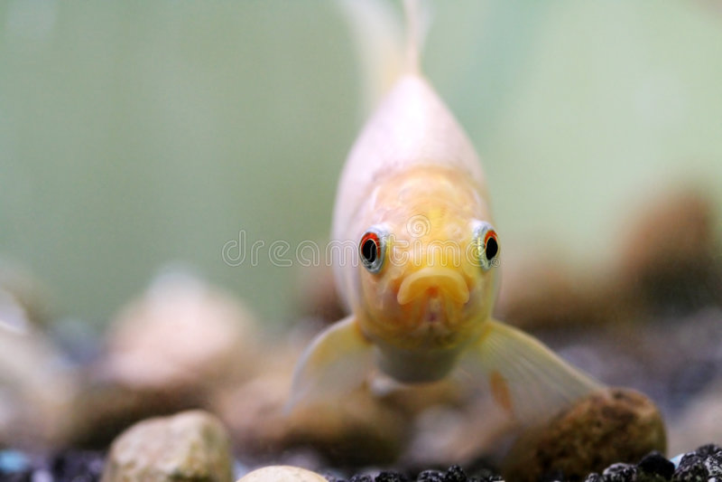 Goldfish immagini stock