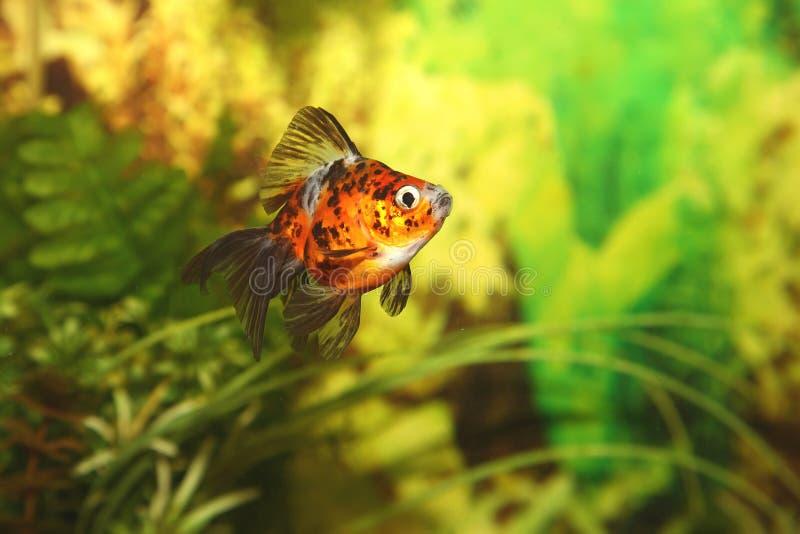 Goldfish in acquario immagini stock