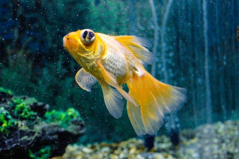Goldfish in acquario Primo piano Pesce rosso con una coda bianca Mondo subacqueo meraviglioso ed incredibile con il pesce fotografie stock