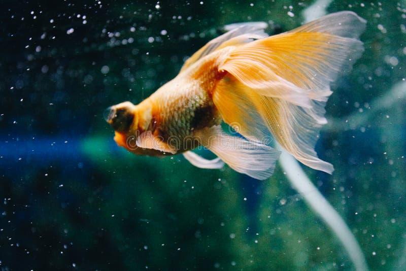 Goldfish in acquario Primo piano Pesce rosso con una coda bianca Mondo subacqueo meraviglioso ed incredibile con il pesce fotografia stock libera da diritti
