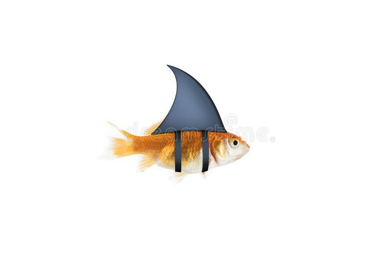 Goldfish acting as shark to terrorize the enemies. Concept of competition and bravery. Goldfish disguised as shark in the sea to terrorize the enemies. Concept stock image