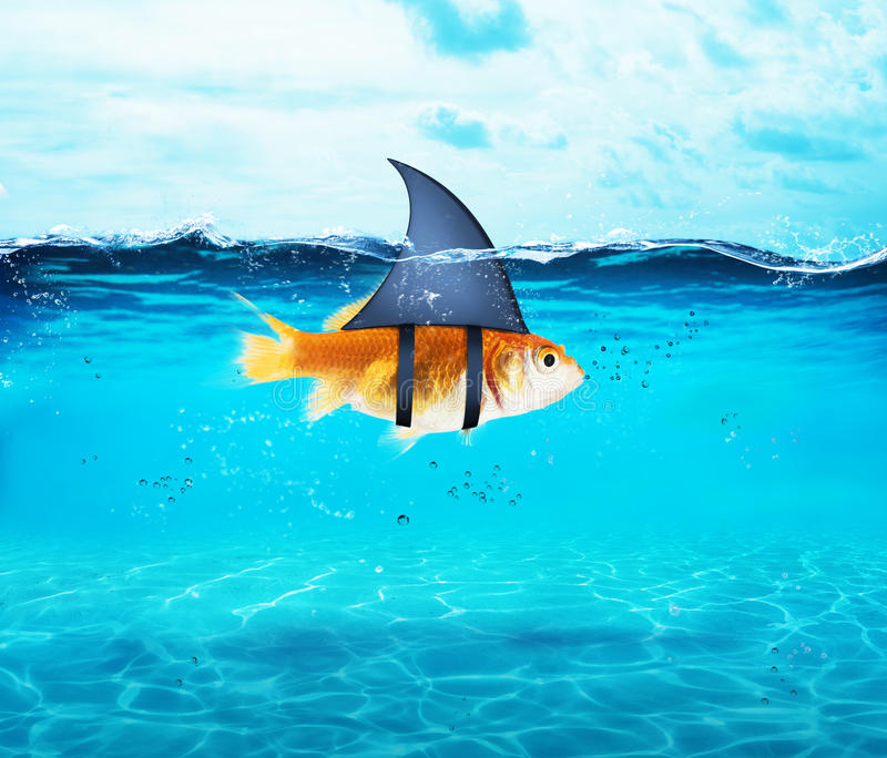 Goldfish acting as shark to terrorize the enemies. Concept of competition and bravery. Goldfish disguised as shark in the sea to terrorize the enemies. Concept stock images