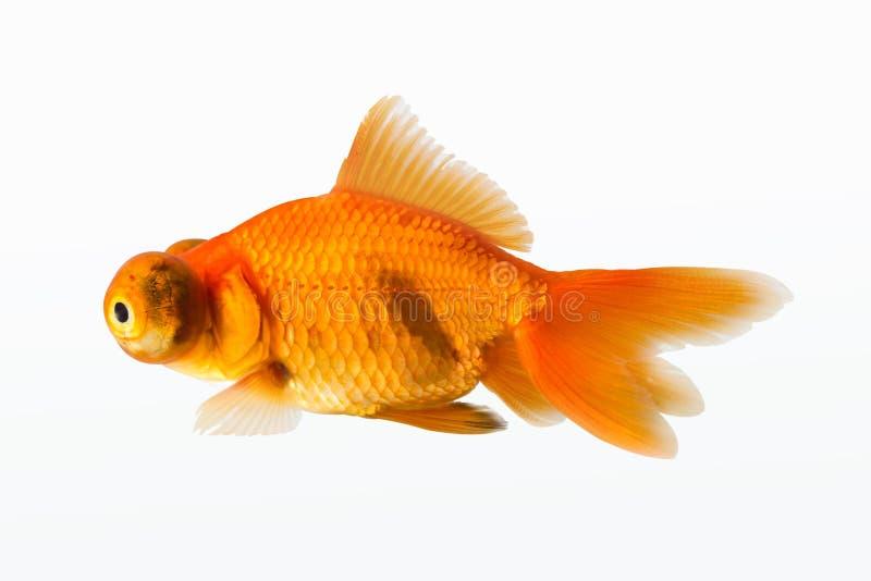 Goldfish aislado fotografía de archivo libre de regalías