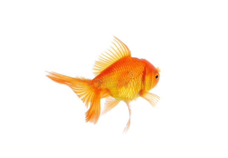 Goldfish aislado en el fondo blanco imagen de archivo libre de regalías