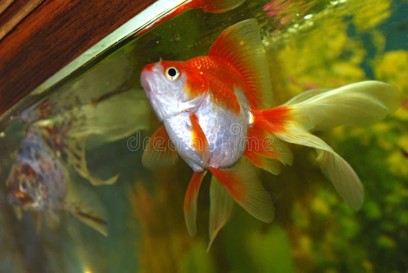 Goldfish in aquarium. royalty free stock images