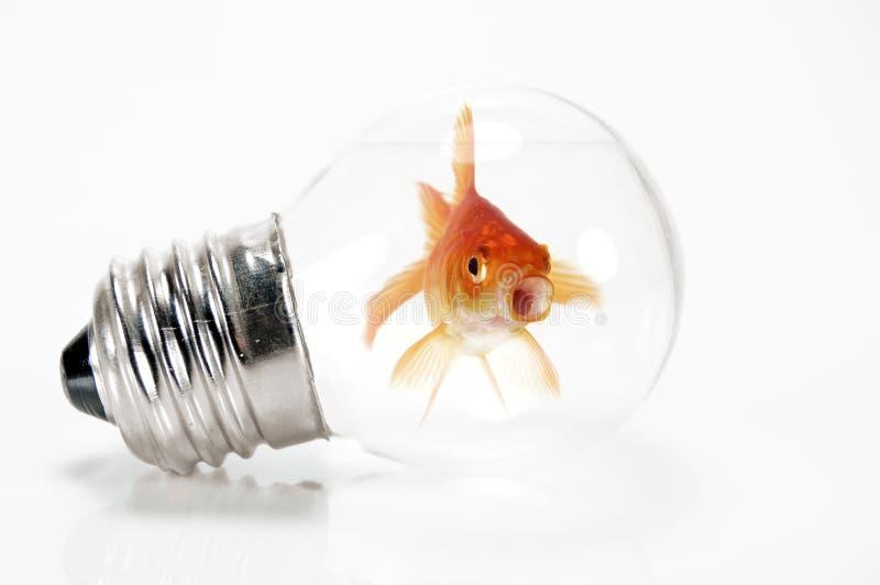 Goldfish atrapado en una bombilla fotos de archivo libres de regalías