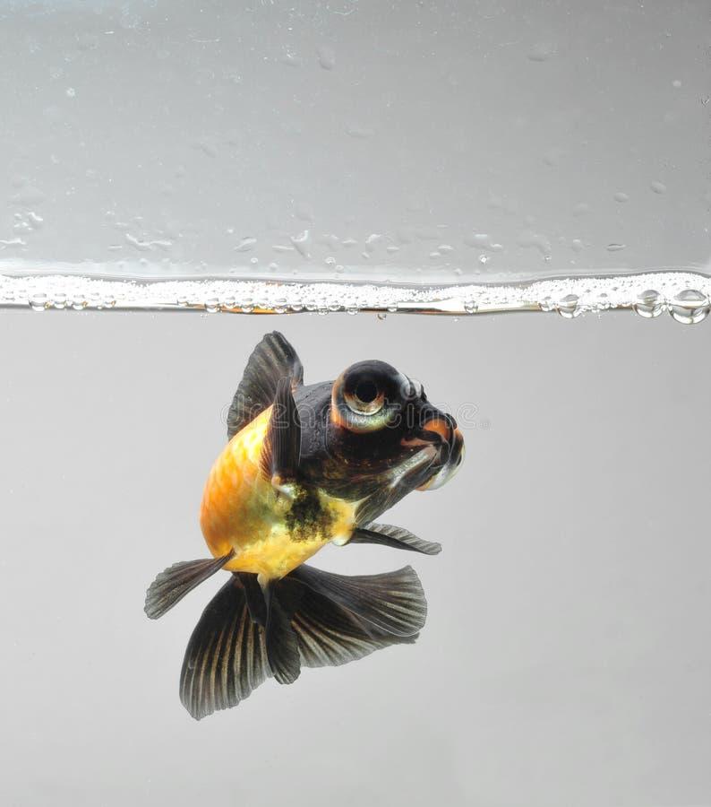 Goldfish avec la bulle de l'eau photos stock