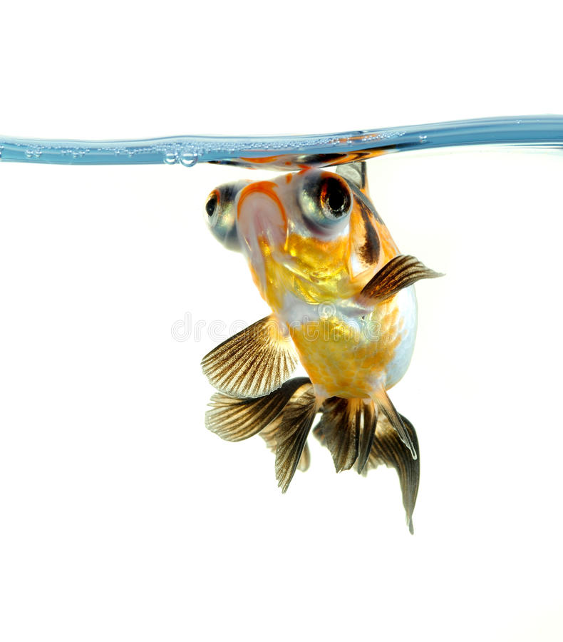 Goldfish avec la bulle de l'eau photographie stock libre de droits
