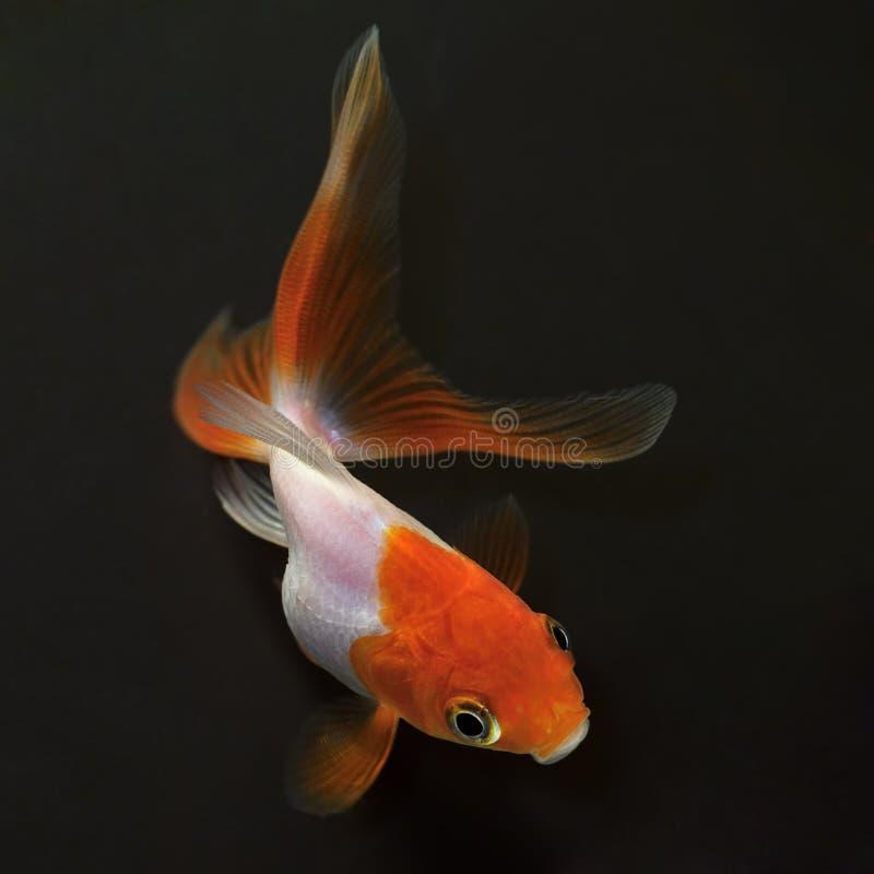 Goldfish On Black Background Stock Photography