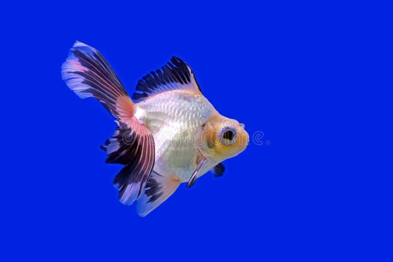 Download Goldfish bonito imagem de stock. Imagem de subaquático - 65580471