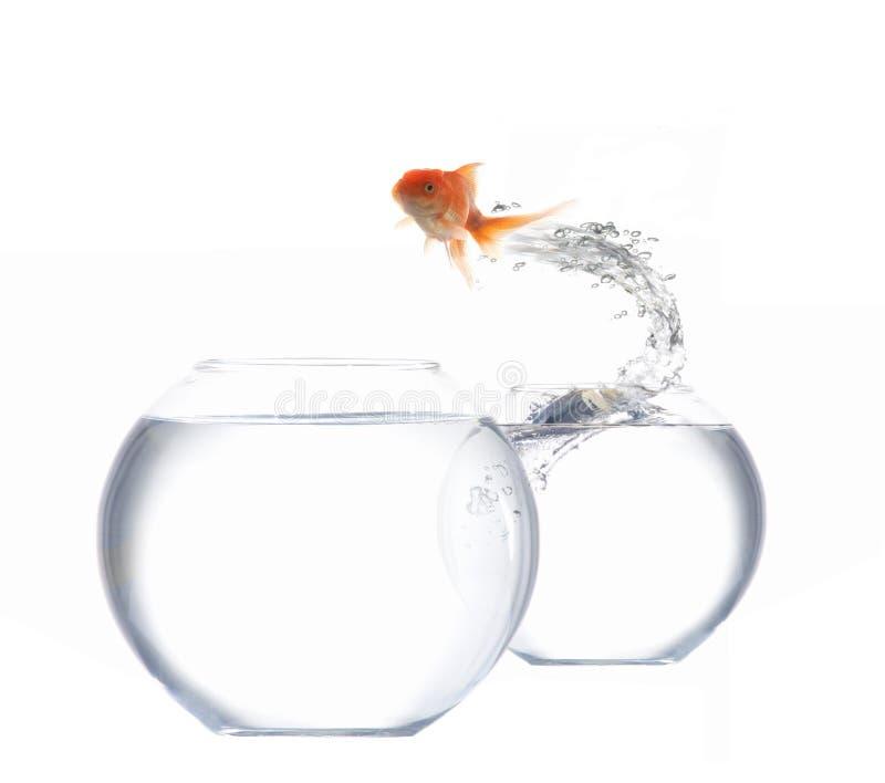 Goldfish branchant photo libre de droits