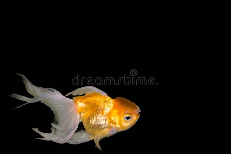 Goldfish,Carassius auratus auratus -gold fish - aquarium fish on black background royalty free stock photography