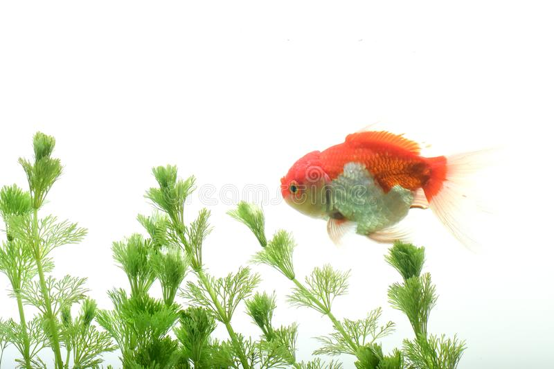 Goldfish carassius auratus background aquatic plants stock image