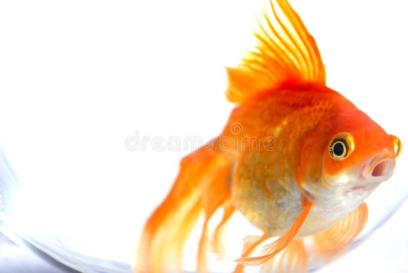 Goldfish/cola de milano. fotografía de archivo libre de regalías