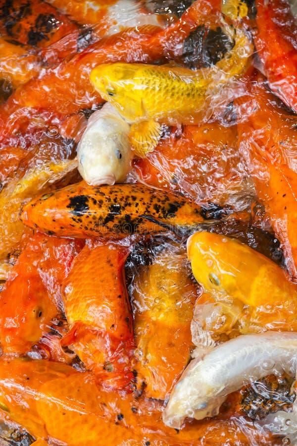 Goldfish collection, koi carp royalty-vrije stock foto