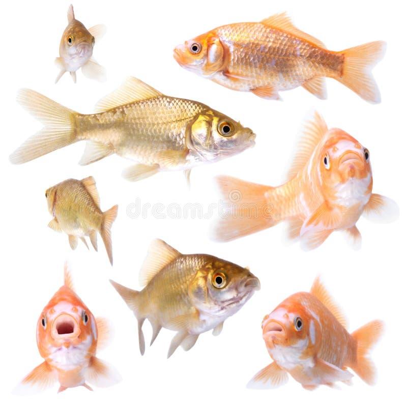 Download Goldfish stock photo. Image of fish, pets, underwater - 34056248