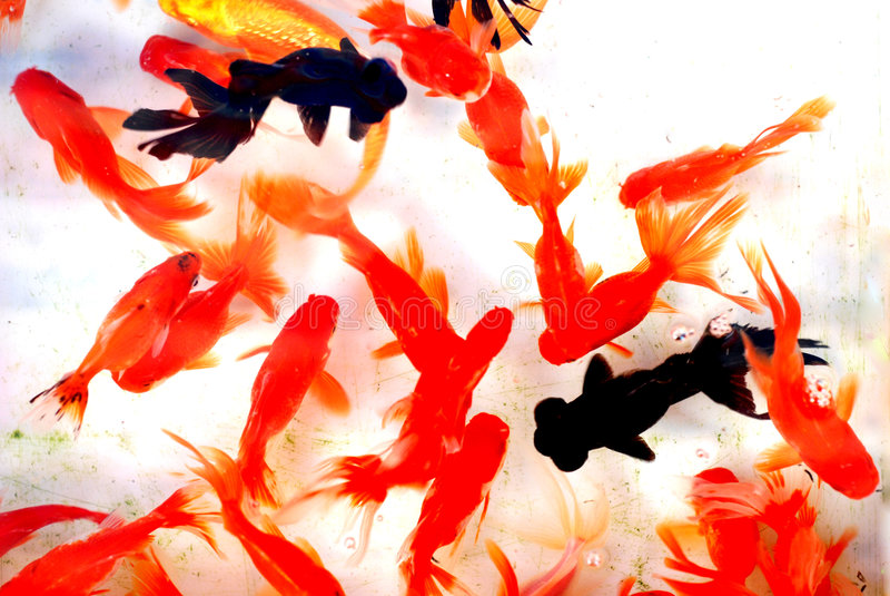 Goldfish colorido fotos de stock royalty free