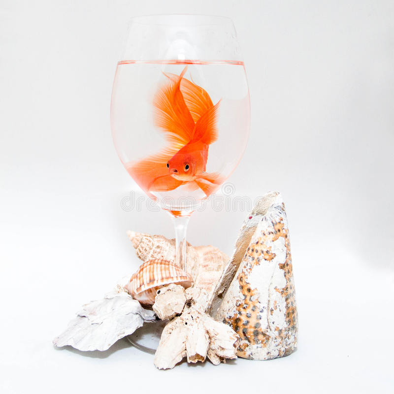 Goldfish and corals. Goldfish in a transparent glass on a white background with corals stock photography