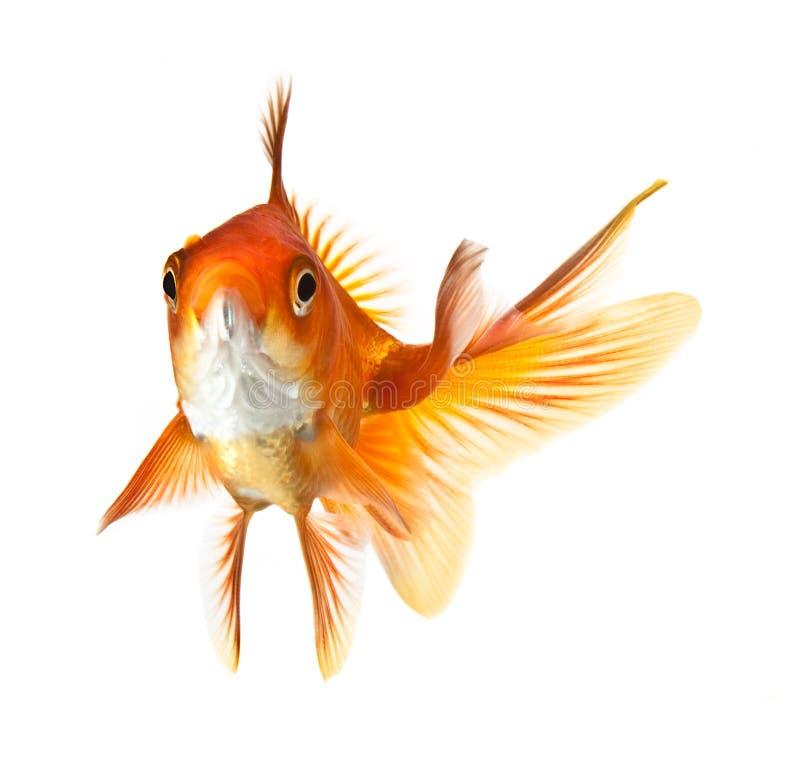 Goldfish d'isolement sur le fond blanc photos libres de droits