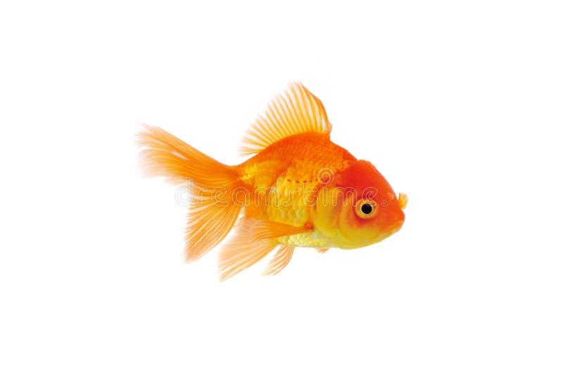 Goldfish d'isolement sur le fond blanc photos stock