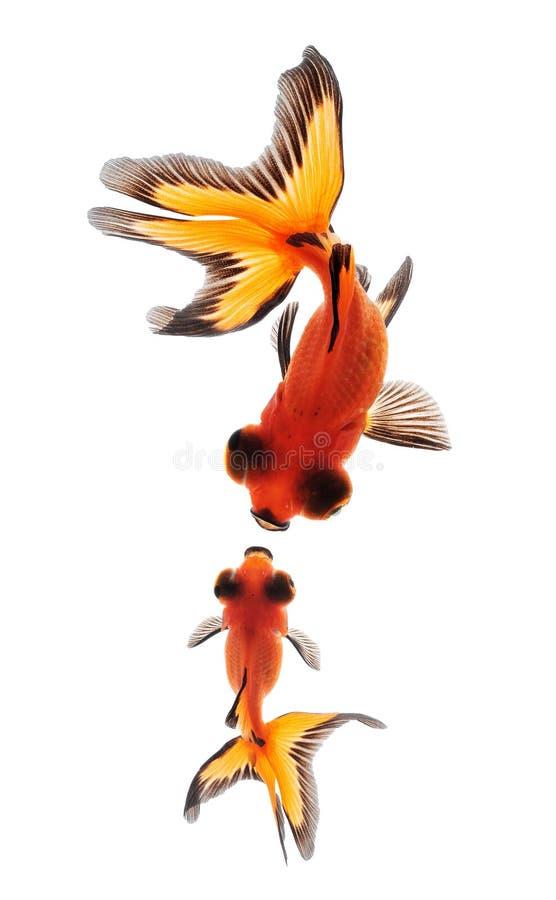 Goldfish d'isolement sur le fond blanc image libre de droits