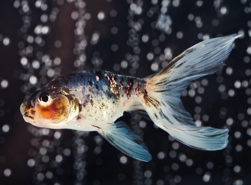 Goldfish d'oeil de bulle de calicot avec des bulles photographie stock libre de droits