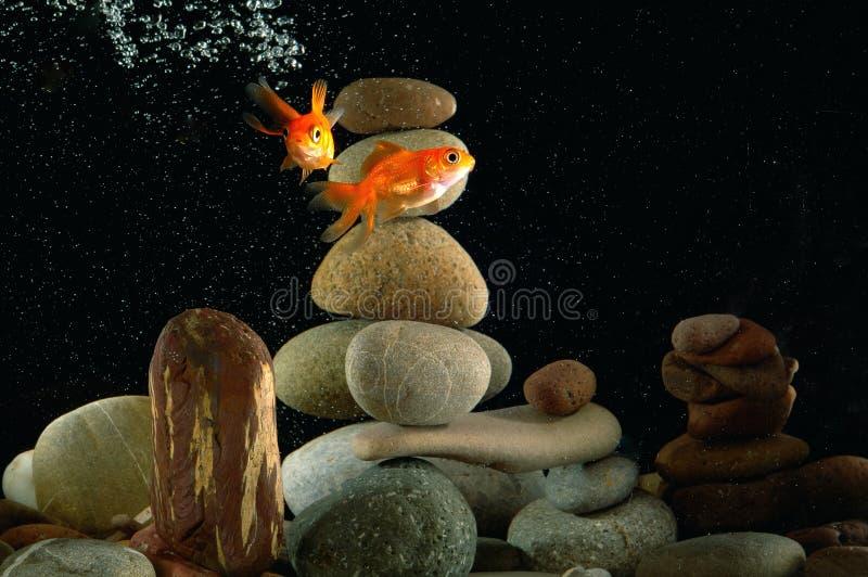 Goldfish dans l'aquarium photos stock